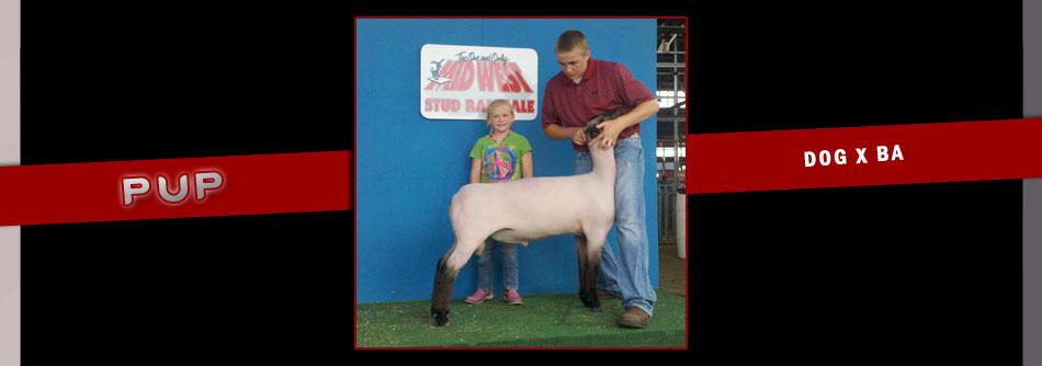 hindman show lambs